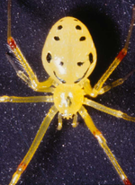 Hawaiian Spider Smiley Back emoticon (Bug and insect emoticons)